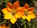 Orange Ornithogallum Stock Photo