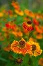 Orange ox-eye daisy Stock Image