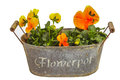 Orange pansies Stock Image