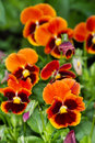 Orange pansies on a bed nature background Stock Photo