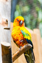 Orange parrot Royalty Free Stock Photo