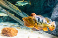 Orange peacock bass fish Royalty Free Stock Photos