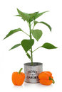 Orange Pepper Plant Royalty Free Stock Photos