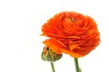 Orange persian buttercup ranunculus asiaticus flower of isolated on white background Stock Images