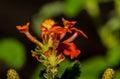 Orange Petals of a Single Lantana Flower Royalty Free Stock Photo