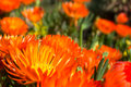 Orange pigface growing in garden Royalty Free Stock Photo