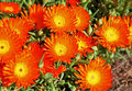 Orange pigface ice plant in garden Stock Image