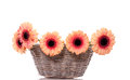 Orange pink gerber flowers in a wicker basket Royalty Free Stock Photography