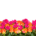 Orange pink roses border isolated white background Royalty Free Stock Photos
