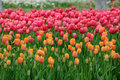 Orange and Pink Tulips Royalty Free Stock Photo