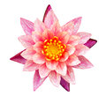Orange and pink water lily Stock Image