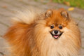 Orange pom pomeranian often known as a or is a breed of dog of the spitz type Stock Photos