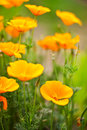 Orange poppies field selective focus effect Royalty Free Stock Image