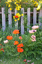 Orange poppies and yellow roses growing next to old fence Stock Images