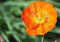 Orange poppy flower close up image with in spring Royalty Free Stock Photos