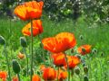 Orange Poppy flowers Royalty Free Stock Image