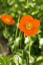 Orange poppy flowers blossom closeup of two outdoors Royalty Free Stock Images