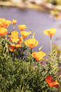 Orange poppy flowers Royalty Free Stock Photo