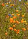 Orange Poppy flowers Royalty Free Stock Photo