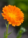 Orange pot marigold (Calendula officinalis) field Stock Photos