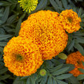 Orange pot marigold flowers Royalty Free Stock Photo
