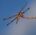 Orange predator dragonfly with its wings spread on a branch Royalty Free Stock Images