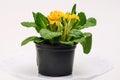 Orange primula flower Royalty Free Stock Photo