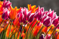 Orange and purple tulips colorful in spring time Stock Image