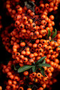 Orange pyracantha Stock Photos