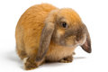 Orange rabbit baby of on white background Stock Photos