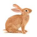 Orange rabbit on white background Royalty Free Stock Photography