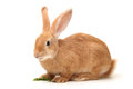 Orange rabbit on white background Royalty Free Stock Images