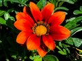 Orange & Red Daisy Flower Closeup. Royalty Free Stock Photo