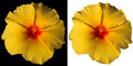 Orange and Red Hibiscus Flower Isolated Royalty Free Stock Photo