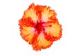 Orange and red hibiscus flower isolated on white background Stock Images