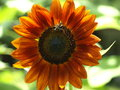 Orange red sunflower with bee close up helianthus annuus flowering head Stock Image