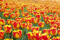 Orange red tulip Royalty Free Stock Photo