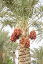 Orange, reddish brown and dark brown ripen dates Royalty Free Stock Photo