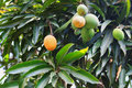 Orange ripe and bunch of green mango on tree in garden selective focus Royalty Free Stock Image
