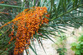 Orange ripen bunches of dates Royalty Free Stock Photo