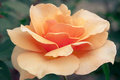Orange rose beautiful in full bloom Stock Photography