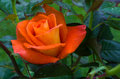 Orange rose bloom Royalty Free Stock Photo