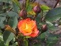 Orange rose Royalty Free Stock Photo
