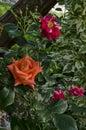 Orange rose bush in bloom at natural outdoor garden Royalty Free Stock Photo