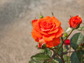 Orange rose bush blooming in the sun outside Royalty Free Stock Image