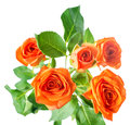 Orange rose bush flowers is isolated over white, Royalty Free Stock Photo