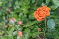 Orange rose on a bush, top view Royalty Free Stock Photo