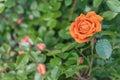 Orange rose on a bush, top view Royalty Free Stock Photo