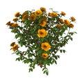 Orange Rose Bush on White Royalty Free Stock Photo