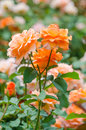 Orange rose close up photo Royalty Free Stock Images